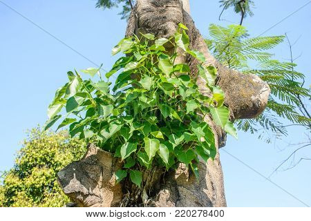 small banyan tree is growing on the another tree