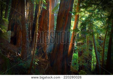 Light filtering through redwoods, Julia Pfeiffer-Burns State Park, California