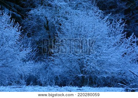 Early morning frost covering bare branches of Skagit Valley trees