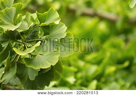 Ginkgo biloba, commonly known as ginkgo also known as the ginkgo tree or the maidenhair tree, is the only living species in the division Ginkgophyta, all others being extinct.