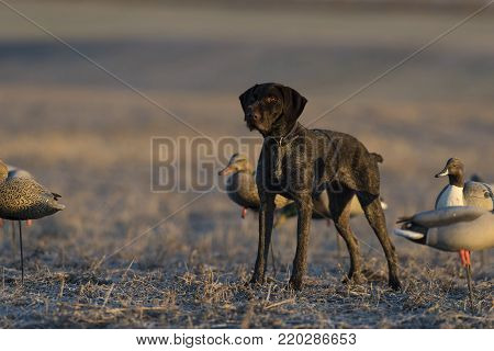 A hunters dog out waterfowl hunting in North Dakota