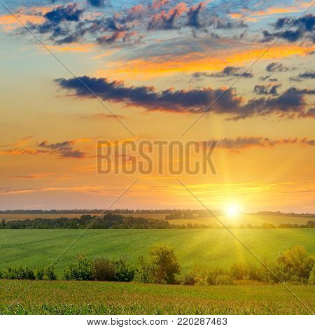 Corn field and sun rise on blue sky. Agricultural landscape.