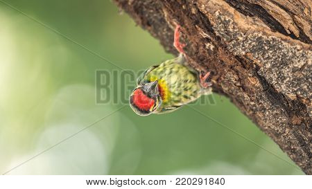 Bird (coppersmith Barbet) On Tree In A Nature Wild