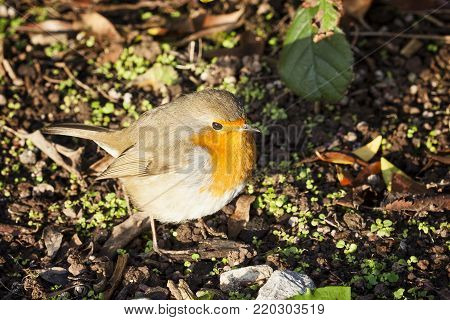 Robin redbreast ( Erithacus rubecula) on the ground