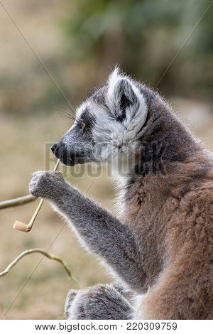 Animal intelligence. Funny image of an intelligent lemur contemplating life with a fake smoking pipe. Wise looking old lemur with a humorous enrichment tool. Cute wildlife portrait.