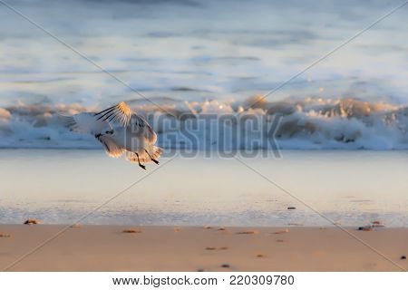 Soft dreamy nature image of a gull in winter plumage. Seagull bird taking off from the beach in front of waves. Ethereal natural world background. image