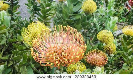 Protea, sweetcorns, proteaceae, silver-tree plant, national flower of South Africa
