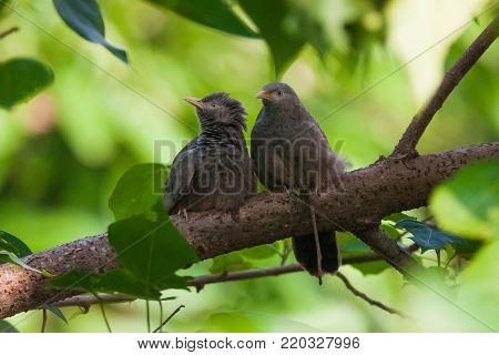 Jungle babbler (Turdoides striata) bird standing at tree branch