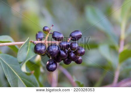 Berries of the common privet plant (Ligustrum vulgare) on autumn