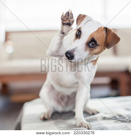 Dog at home. Pet indoors. Puppy greeting, paw up
