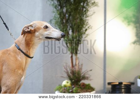 Italian grayhounds portrait. adorable animal at the park