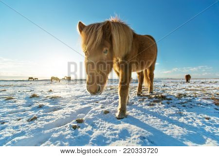 Icelandic horses in winter landscape. Iconic symbol of Iceland fauna, tourist point of interest