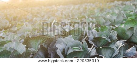 fresh cabbage in the field. good harvest. farming. agroculture