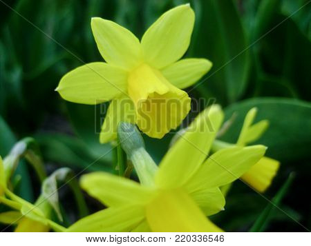 Narcissus in Spring. Blooming daffodils, Narcissus, in the garden. Meadow filled with yellow daffodils irradiated evening sun. Spring bulbs