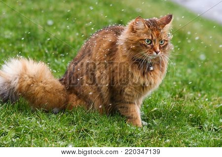 A fluffy tabby cat in a flurry of snowflakes