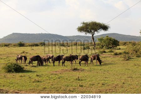 Wildebeest In Masai Mara Kenya