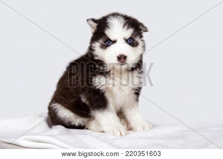 Little Husky puppy one. Cute baby dog with blue eyes. Pet - man's best friend.
