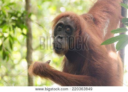 Orang Oetan in the wild on Sumatra in Indonesia