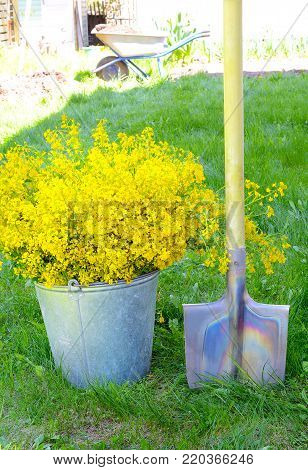 bouquet of yellow wild flowers Barbarea in galvanized metal bucket next to the shovel in a rural garden on the green grass in the background garden cart illuminated by the sun