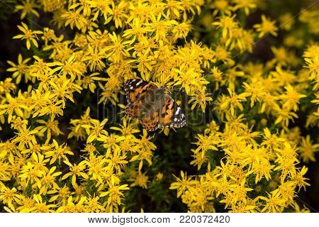 A beautiful Monarch Butterfly against a sea of yellow flowers