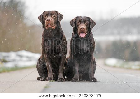 two cute young brown labrador retriever dogs puppies sitting together on the concrete street smiling