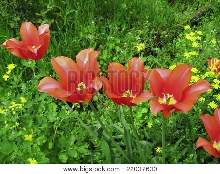 Red tulips blossom