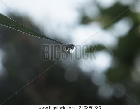 The Droplet Of Water On The Tip Of A Leaf Of Grass. In The Droplet You Can See The Reflection Of The