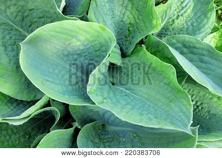 Foliage of decorative plant Hosta (Funkia). Natural green background.