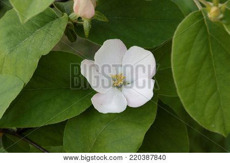 Blossoming of a quince. Cydonia oblonga blossom. Flowering of a quince on a green background.