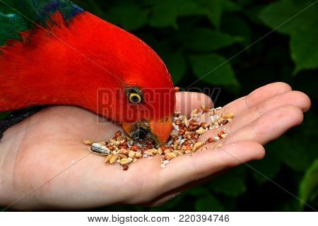 A male king parrot eating from a female's hand