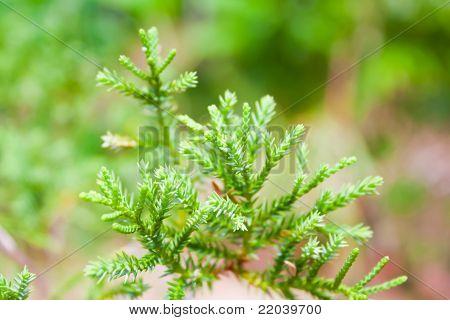 Pine In Rain Season