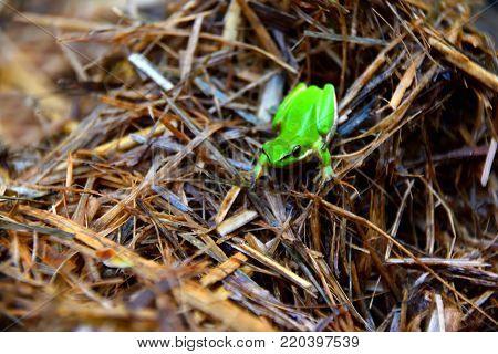 A green tree frog sitting on sugarcane mulch