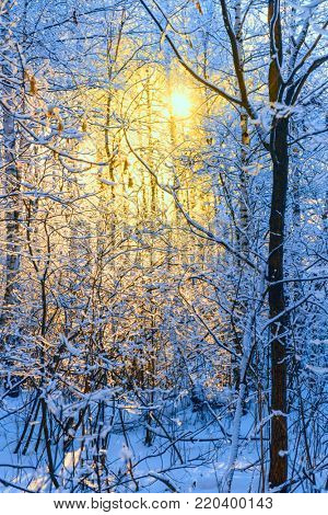 Frosty trees in the winter forest at sunset