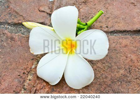 White Frangipani On Ground
