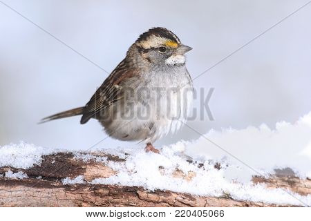 White-throated Sparrow (zonotrichia albicollis) perched on a log with snow
