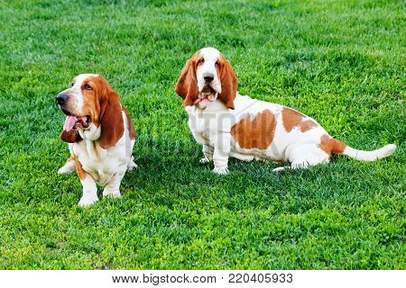 Two Basset Hound sitting on the grass in park