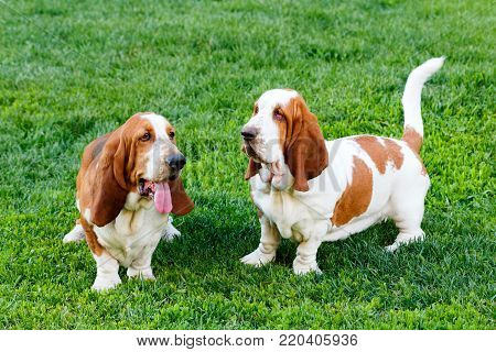 Two Bassets sitting on the grass in park