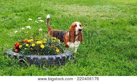 Basset Hound sitting on the grass in park