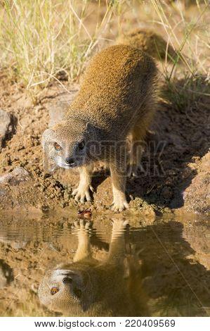 Yellow Mongoose drinks water from a waterhole in the Kalahari desert