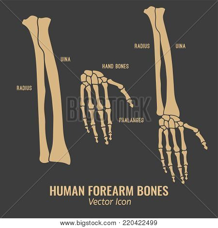 Human Forearm Bones Icons. Chest Image In A Flat Style. Vector Illustration In Beige Colour Isolated