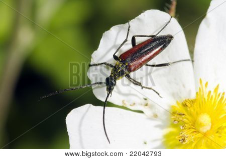 Black And Red Flower Beetle