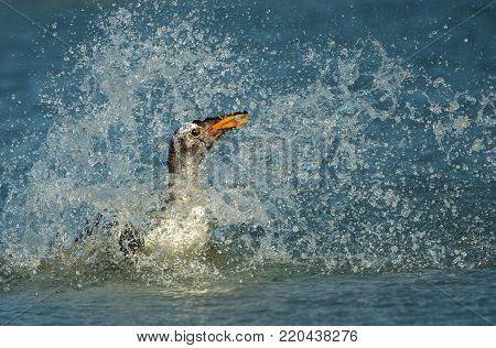 Gentoo penguin diving in the Atlantic ocean. Coast on the Falkland islands.