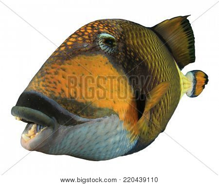 Titan Triggerfish fish isolated on white background
