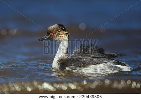 Close up of silvery grebe swimming in freshwater lake with food for the chicks in Falkland Islands.
