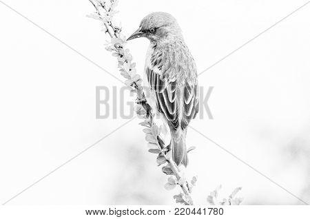 A monochrome male Cape weaver, Ploceus capensis, on a branch