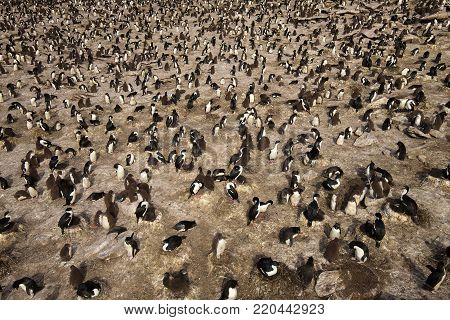 Colony of rockhopper penguins and imperial shags in Falkland islands.