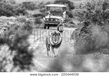 Two male lions in a typical scene on a game drive in a game park in South Africa. Monochrome