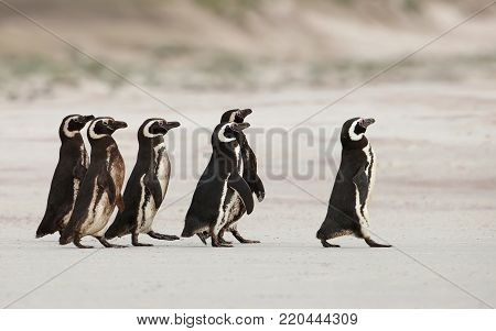 Magellanic penguins heading out to sea for fishing on a sandy beach in Falkland islands