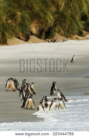 Group of Magellanic penguins on a sandy beach with tussock grass in summer, Falkland islands. Birds on the beach.