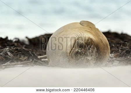 Close up of a Southern Elephant seal sleeping on a windy summer day on a sandy beach in Falkland islands.